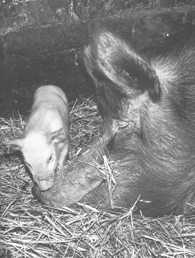 Jeanne Flann enjoyed the pigs she worked with at Greenbank Farm as a Land Girl.