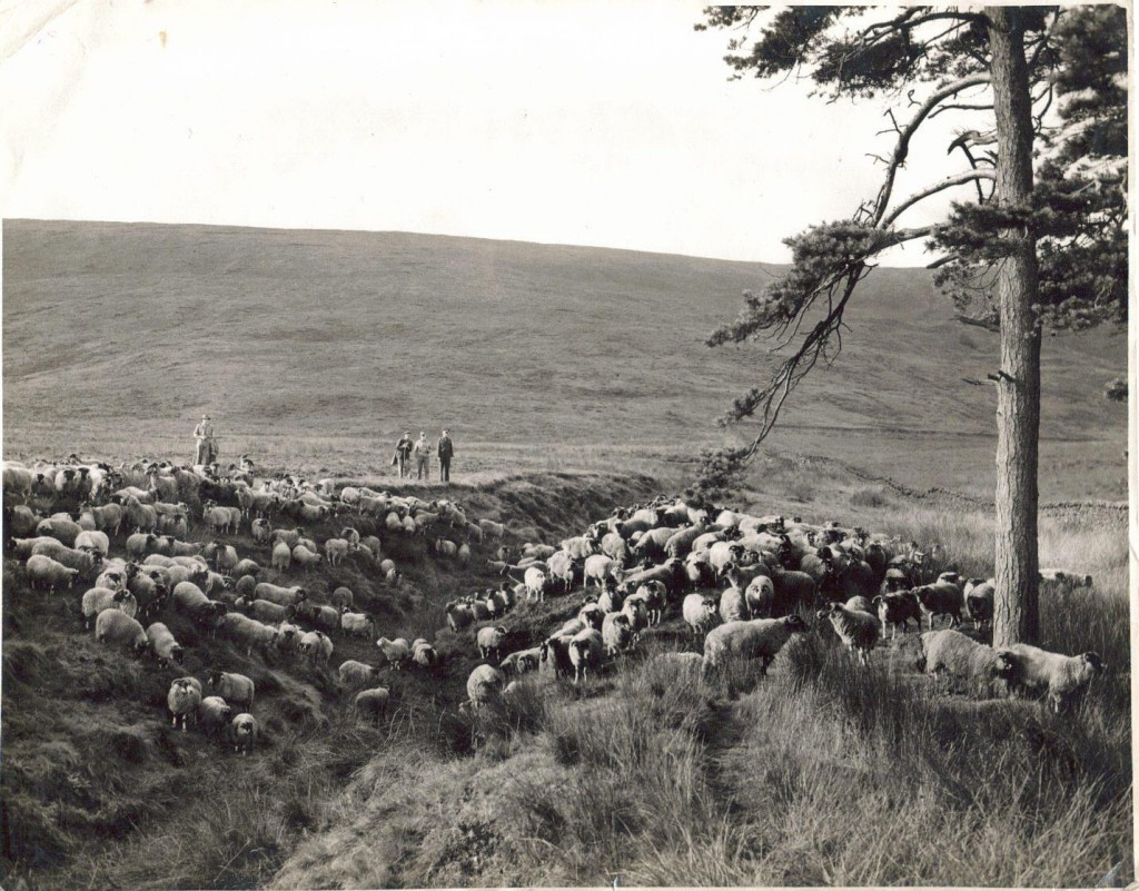 A picture showing a few of the sheep at Marshaw along with Mr. John Drinkall and his staff.
