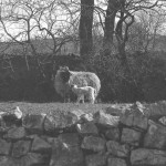 The purpose of all of our work at Marshaw, to produce as a many lambs as possible. This photo also shows the dry stone walls that I repaired.